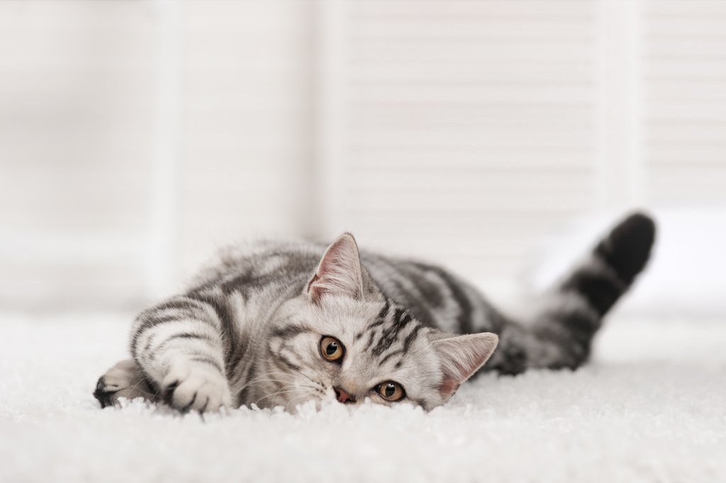 Cat Urine Smell Out of Carpet